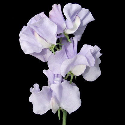 Sweet Pea Seeds New for 2012